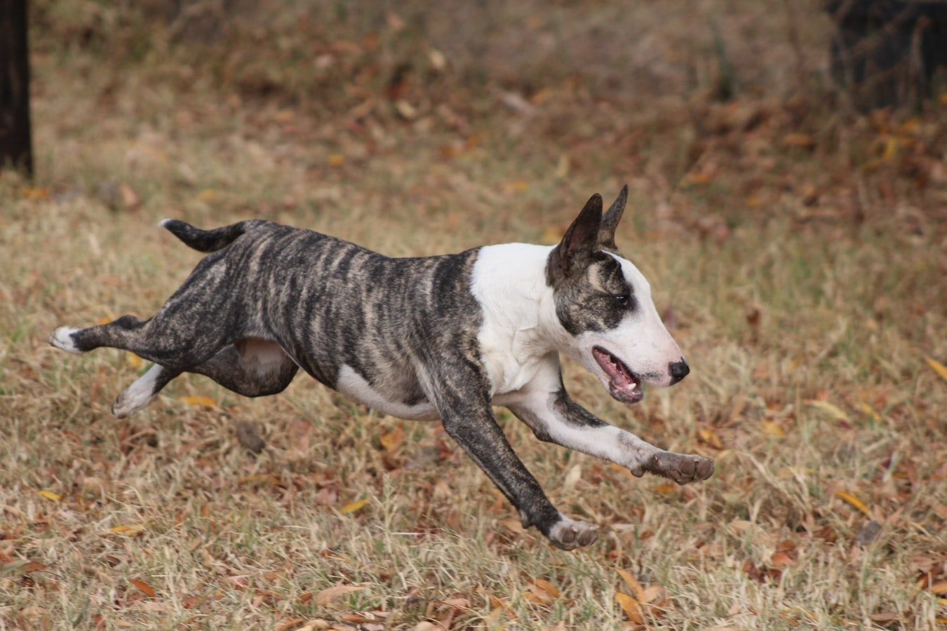 Miniature Bull Terrier Breed Overview